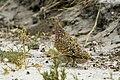 Burchell's Sandgrouse - Etosha 0010.jpg