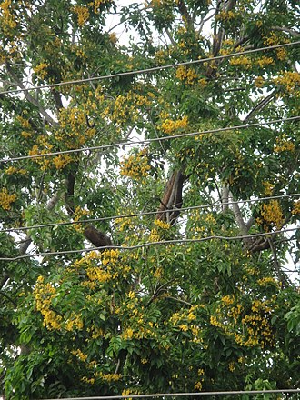 Pterocarpus macrocarpus - Padauk flowers during Thingyan