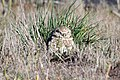 Burrowing Owl - Flickr - GregTheBusker (9).jpg