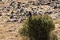 Buteo buteo - Common buzzard, Malatya 2018-09-27 02.jpg