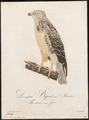 Buteo vulgaris - 1800-1812 - Print - Iconographia Zoologica - Special Collections University of Amsterdam - UBA01 IZ18200035.tif