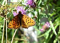 ButterflyMoléson.jpg