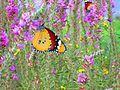 Butterfly in lake Hula, Israel.jpg