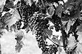 Bw wine grapes.jpg