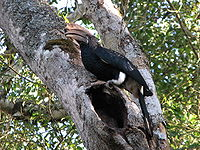 Bycanistes brevis Arusha National Park 2.jpg