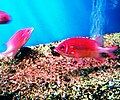 Cá hồng biển 1.jpg