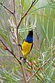 CSIRO ScienceImage 10365 Yellowbellied Sunbird Mossman Queensland.jpg