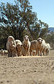 CSIRO ScienceImage 3047 Hand feeding sheep in paddock.jpg