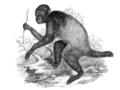 Cacajao melanocephalus.png