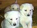 Cachorrospalleiro.JPG