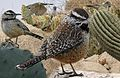 Cactus wren From The Crossley ID Guide Eastern Birds.jpg