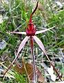 Caladenia concolor - cropped.jpg