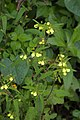 Calceolaria cf. mexicana (Calceolariaceae) (30159264480).jpg