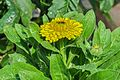Calendula officinalis 27122014 (5).jpg