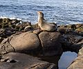 California sea lions in La Jolla (70418).jpg