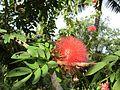 Calliandra haematocephala (7189108955).jpg