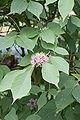 Callicarpa cathayana floraison2.jpg
