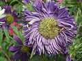 Callistephus or china aster 1956.JPG