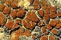 Caloplaca atroflava (Turner) Mong 782034.jpg
