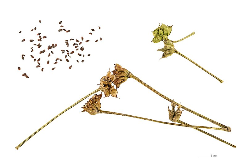 File:Caltha palustris MHNT.BOT.2005.0.967.jpg