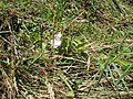 Calystegia sepium roseata R.Br. (AM AK320287-2).jpg