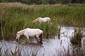 Camarge Wild Horses, France.jpg