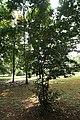 Camellia Sinensis 04.jpg