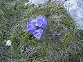 Campanula alpina Rax 1.jpg