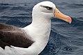 Campbell Albatross (25374939843).jpg