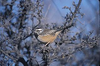 <i>Campylorhynchus</i> genus of birds