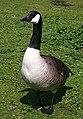 Canada Goose (Branta canadensis) - geograph.org.uk - 790053.jpg