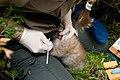 Canada Lynx Kitten - DPLA - 5d9a240e497452b46ae059e64af76efe.jpg