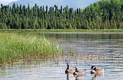 Canada goose trio on Goose Lake, Anchorage.jpg