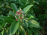 Canella winterana Guadeloupe