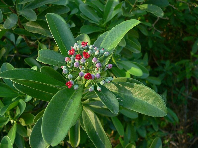 feuilles et fleurs du Bois cannelles
