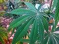 Cannabis leaf in Ketama, Morocco.jpg