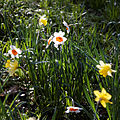 Capel Manor Gardens Enfield London England - Narcissus 02.jpg