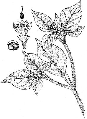 Capsicum galapagoense, Illustration