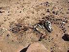 Carcasse d'âne.JPG