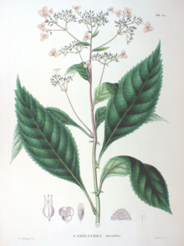 Cardiandra alternifolia SZ66