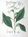 Cardiandra alternifolia SZ66.png