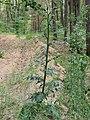 Carduus crispus Kiev1.jpg