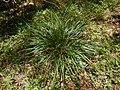 Carex Banda Banda.jpg