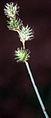 Carex festucacea NRCS-1.jpg