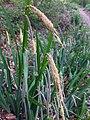 Carex pendula inflorescens (50).jpg