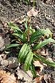 Carex plantaginea kz01.jpg