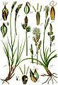 Carex spp Sturm50.jpg