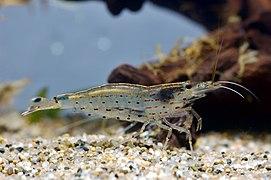 Crevette — Wikipédia