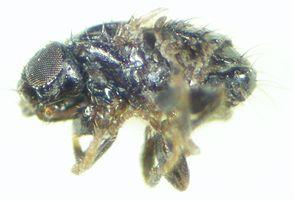 Carnus hemapterus