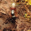 Carpenter Ant - Flickr - treegrow (3).jpg